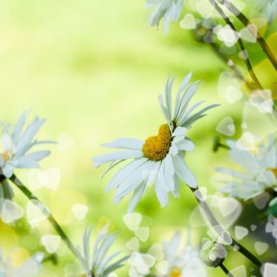 36479835 - heart daisy